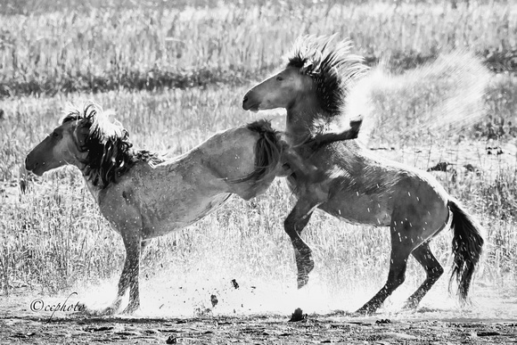 Stallion Fight 3