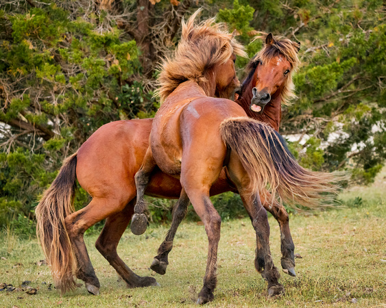 Stallion FIGHT1